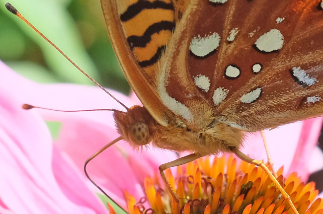 BrownButterfly_Antenna