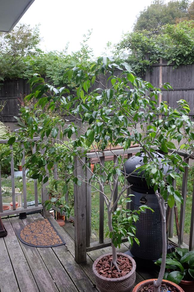 Ficus_October