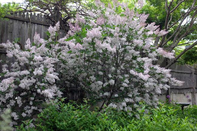 Lilac_FullBloom