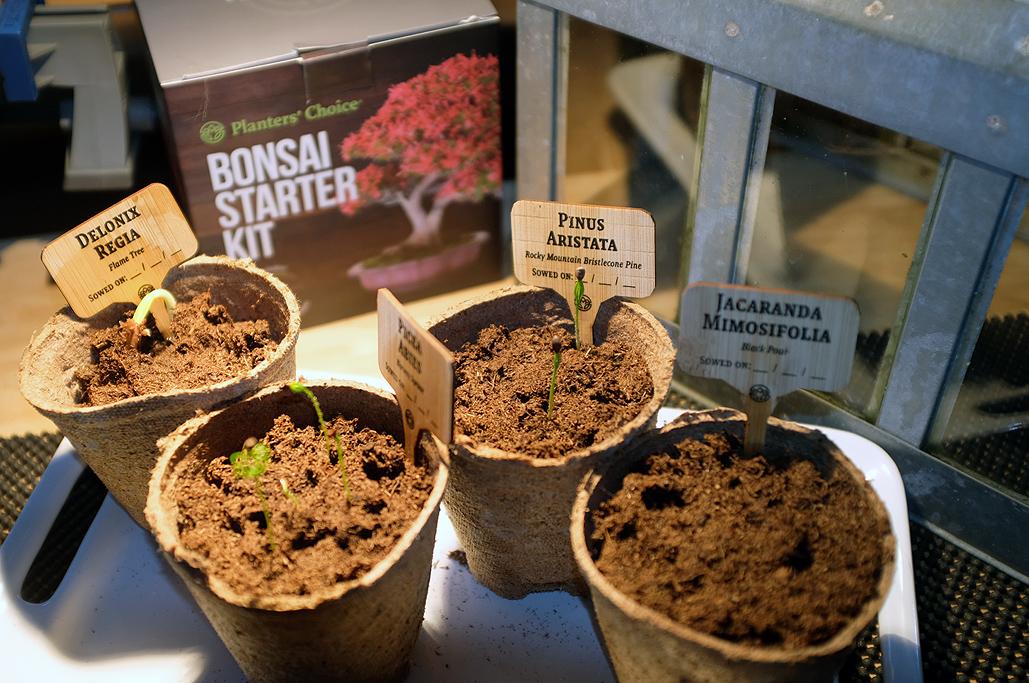 Planters Choice Bonsai Germination Rainydaymagazine